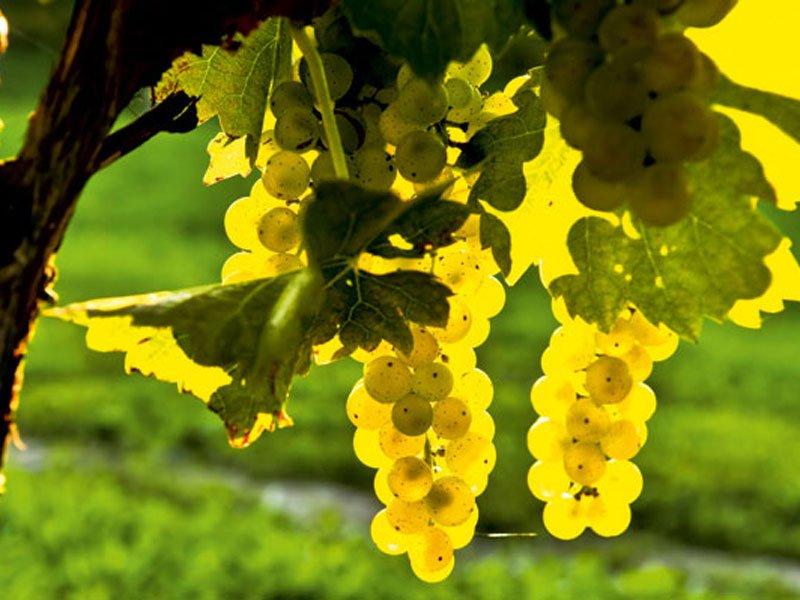 Γιορτή Κρασιού στο Πικέρμι